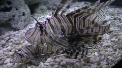 Common lionfish Stock Footage