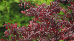 The tree with red leafs during summer time rain - stock footage