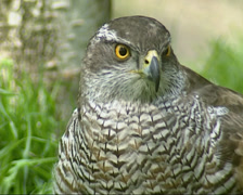 Northern Goshawk, ground perched, close up Stock Footage