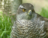 Stock Video Footage of Northern Goshawk, ground perched, close up