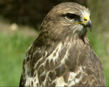 Stock Video Footage of Common Buzzard (buteo buteo) - close up