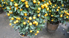 Potted Mandarin orange plant during CHINESE NEW YEAR (MANDRAIN ORANG TREE--1A) Stock Footage