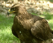 Steppe Eagle, Aquila nipalensis - ground perched Stock Footage