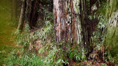 Redwood tree bark in rain. Stock Footage