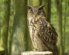 Eurasian Eagle-Owl (bubo bubo) - eye to eye + turning head - stock footage