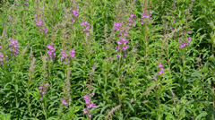 Fireweed (Chamerion angustifolium ) in the wind Stock Footage