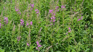 Stock Video Footage of Fireweed (Chamerion angustifolium ) in the wind