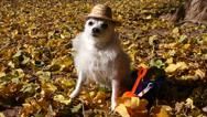Stock Video Footage of Dog Autumn Leaves Funny Concept