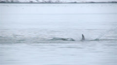White Beaked Dolphins breaching in a fjord of Western Iceland Stock Footage