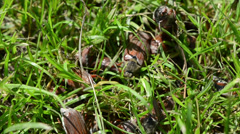 Small brown beetles pile crawling fine green grass Stock Footage