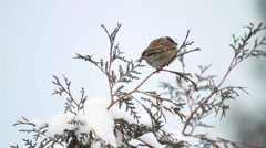 Sparrow on a branch in winter time - stock footage