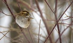 White-throated Sparrow - stock photo