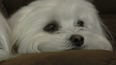 Two Maltese Dogs Pan Close Up Stock Footage