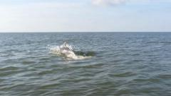 Jumping and swimming dolphins in the Black sea. View from a moving boat Stock Footage