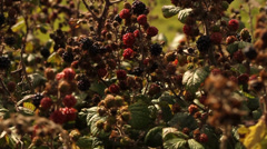 Blackberry bushes Stock Footage