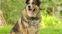 Fat and old dog sitting in the country in summer Stock Footage