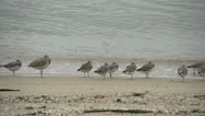 Stock Video Footage of Curlew Sandpiper birds at the coast in Cairns Queensland, Australia,