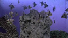 Pajama cardinal fish Stock Footage