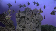 Stock Video Footage of pajama cardinal fish