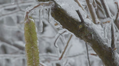 Common Hazel branch with catkins (aments) in winter Stock Footage
