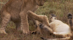 Lion cubs playing together - stock footage