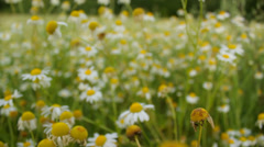 Walking through the field of white daisy flowers, chamomile flowers Stock Footage