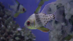 Pajama cardinal fish closeup Stock Footage