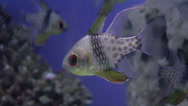 Stock Video Footage of pajama cardinal fish closeup