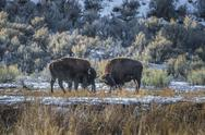 Stock Photo of wild buffalo in winter - yellowstone national park