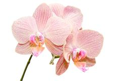 siingle branch of gentle exotic flowers - stock photo