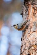 Red-breasted nuthatch (sitta canadensis) is a small songbird. Stock Photos