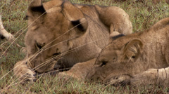 Young lions fighting over food Stock Footage