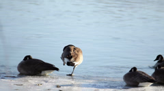 Goose on frozen river Stock Footage