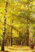 autumn golden sunlight path in october mixed forest - stock photo