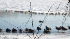 Geese on a frozen river Stock Footage
