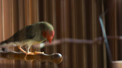 Finch bird in a cage with jumping from perch Stock Footage