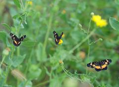 bordered patch butterflies chlosyne lacinia - stock photo