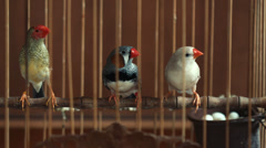 Finch birds in a cage with a nest full of eggs Stock Footage