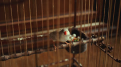 Finch bird in a cage with a nest full of eggs Stock Footage
