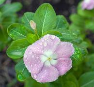 impatiens covered in dewdrops - stock photo