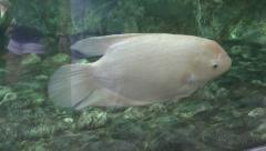 Giant gourami Stock Footage