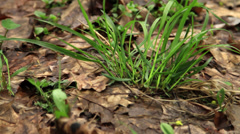Spring grass and brown leafs - stock footage