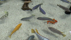 fishes on pond - stock footage
