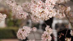 Cherry Blossom Trees Up Close with Shallow Depth of Field with Audio Stock Footage