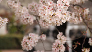 Stock Video Footage of Cherry Blossom Trees Up Close with Shallow Depth of Field with Audio