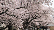 Stock Video Footage of Cherry Blossom Wide Angle Shot
