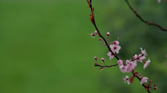 Branch of a tree with buds and flowers Stock Footage