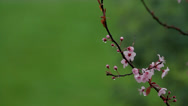 Stock Video Footage of Branch of a tree with buds and flowers