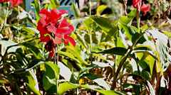 Beautiful Red Canna Flower under Brigth Sun - stock footage
