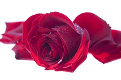 one single red valentines rose.gn - stock photo